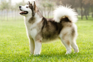 Alaskan Malamute Puppies For Sale Animal Kingdom Arizona