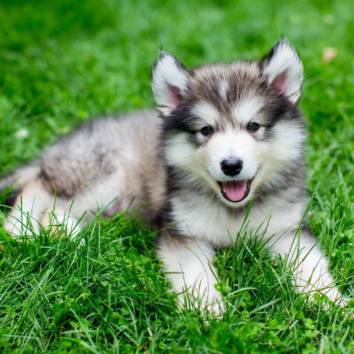 Alaskan Malamute Puppies Animal Kingdom Arizona