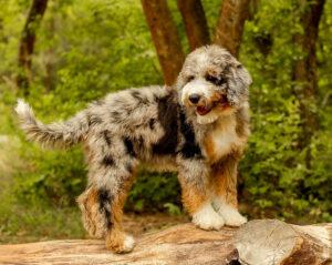 Aussiedoodle Puppies For Sale Animal Kingdom Arizona