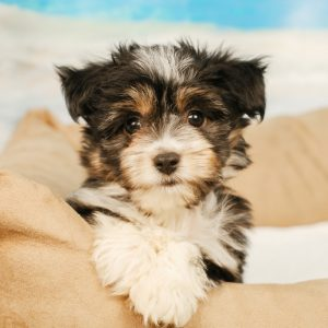 Aussieton Puppies For Sale Animal Kingdom Arizona