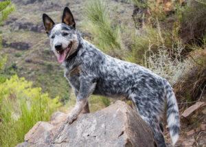 Australian Cattle Dog Puppies For Sale Animal Kingdom Arizona