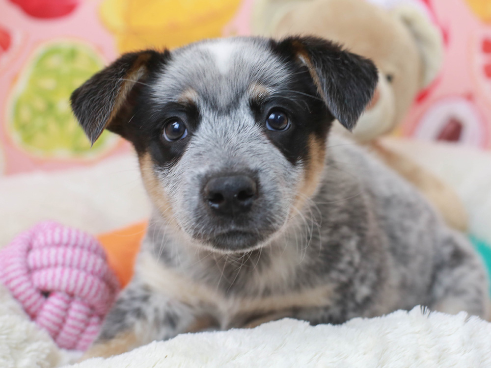 Australian Cattle Dog Puppies Animal Kingdom Arizona