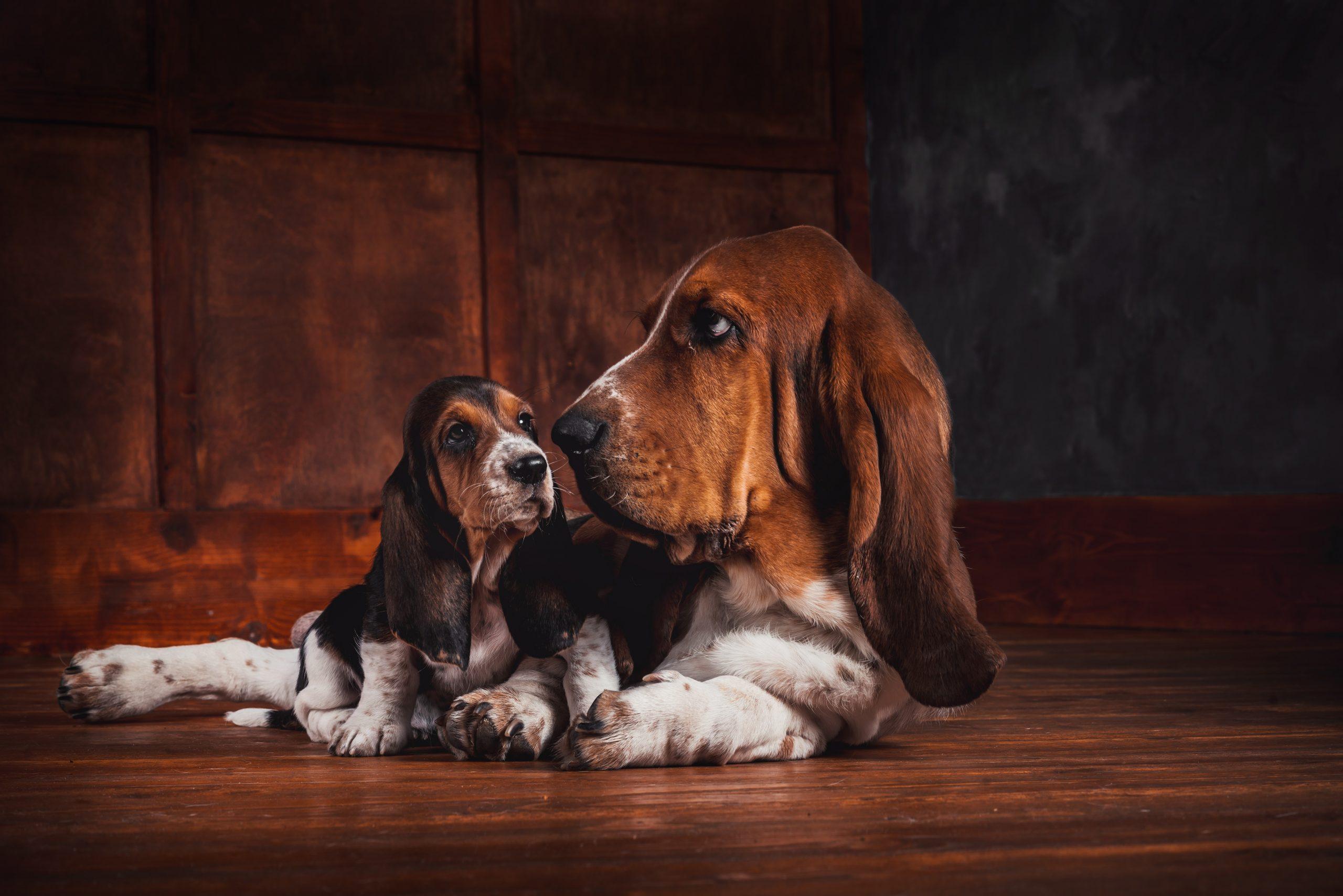 Basset Hound Puppies Available In Phoenix Tucson Az
