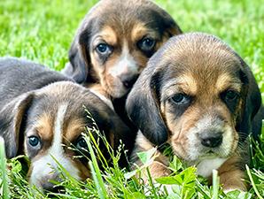 Steve Lengacher Puppies Animal Kingdom Arizona