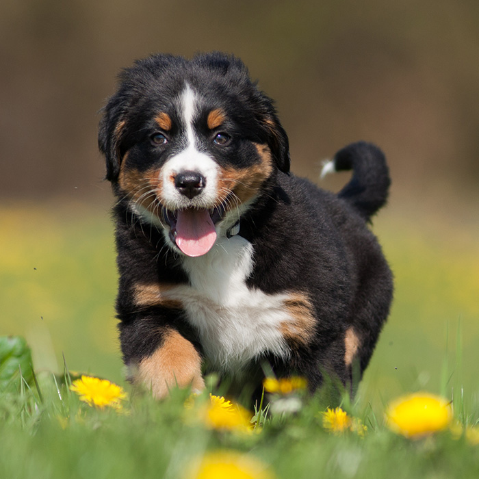 Bernese Mountain Dog Puppies Animal Kingdom Arizona