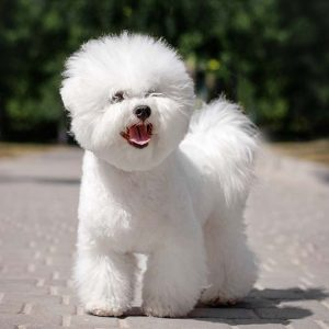 Bichon Frise Puppies For Sale Animal Kingdom Arizona