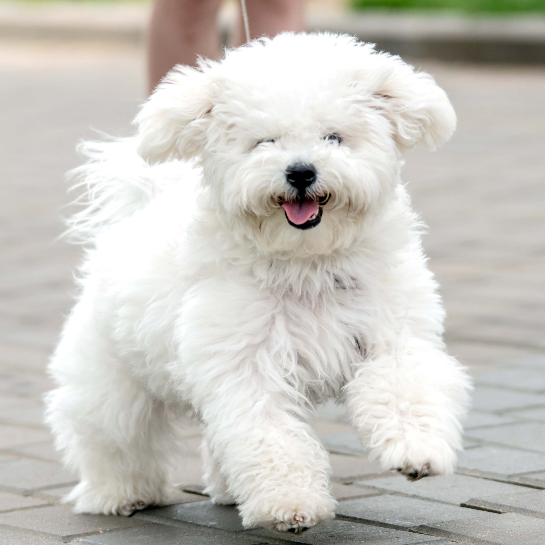 Bichon Frise Puppies Animal Kingdom Arizona