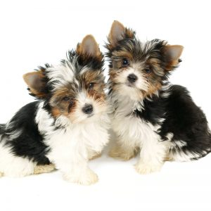 Biewer Yorkshire Terrier Puppies For Sale Animal Kingdom Arizona