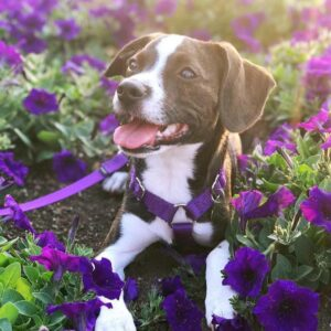 Boggle Puppies For Sale Animal Kingdom Arizona
