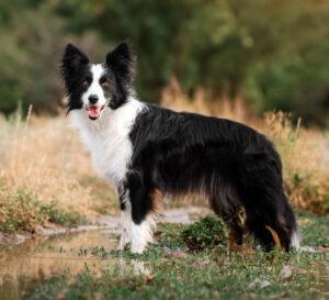 Border Collie Puppies For Sale Animal Kingdom Arizona