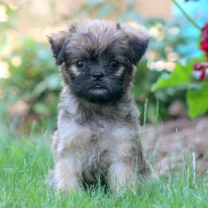 Broodle Griffon Puppies For Sale Animal Kingdom Arizona