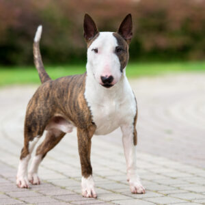 Bull Terrier Puppies For Sale Animal Kingdom Arizona