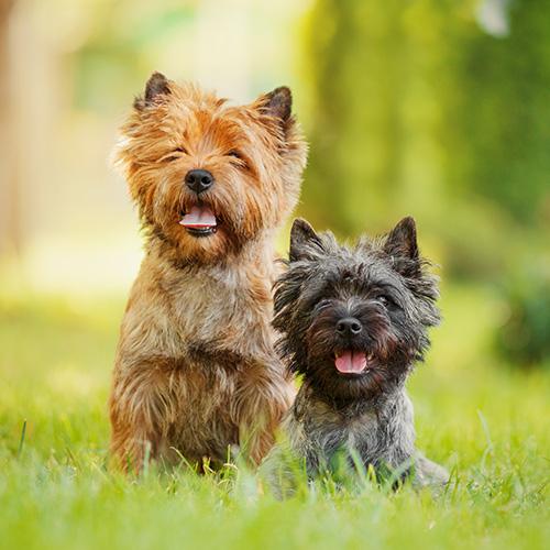 Cairn Terrier Puppies Animal Kingdom Arizona