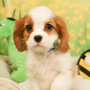 Cavalier King Charles Spaniel puppy sitting on blanket