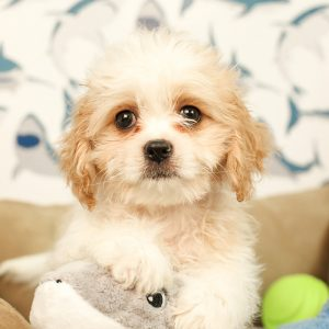 Cavatzu Puppies For Sale Animal Kingdom Arizona