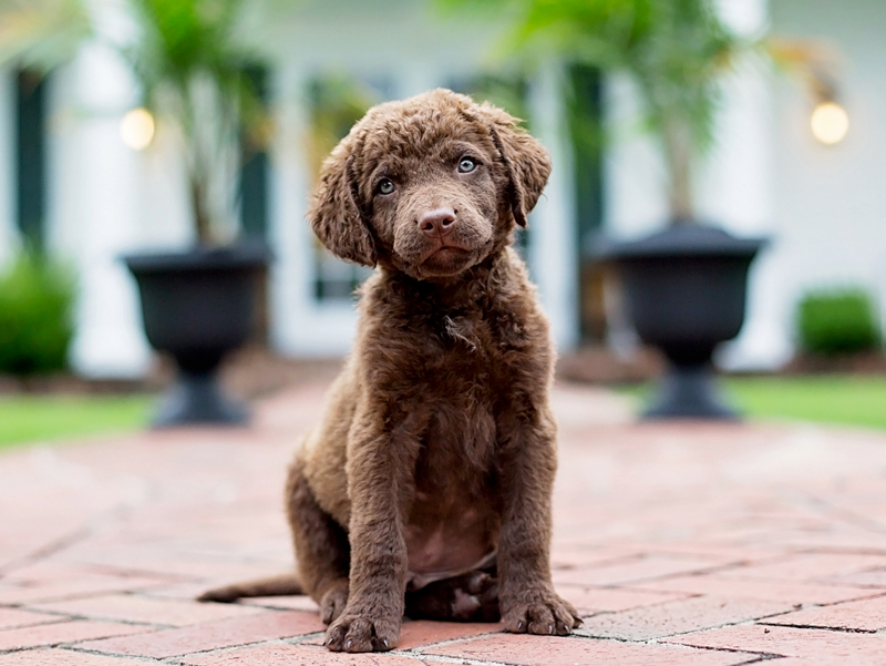 Chesapeake Bay Retriever Puppies Animal Kingdom Arizona