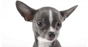 Cute picture of a Chihuahua puppy