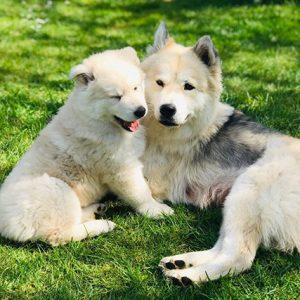 Chowsky Puppies For Sale Animal Kingdom Arizona