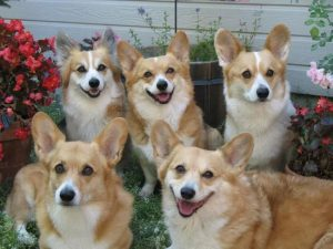 Pembroke Welsh Corgi Puppies For Sale Animal Kingdom Arizona