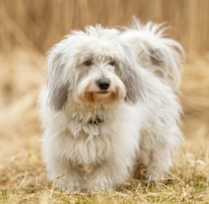 Coton De Tulear Puppies For Sale Animal Kingdom Arizona