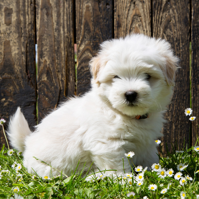 Coton de Tulear Puppies Animal Kingdom Arizona