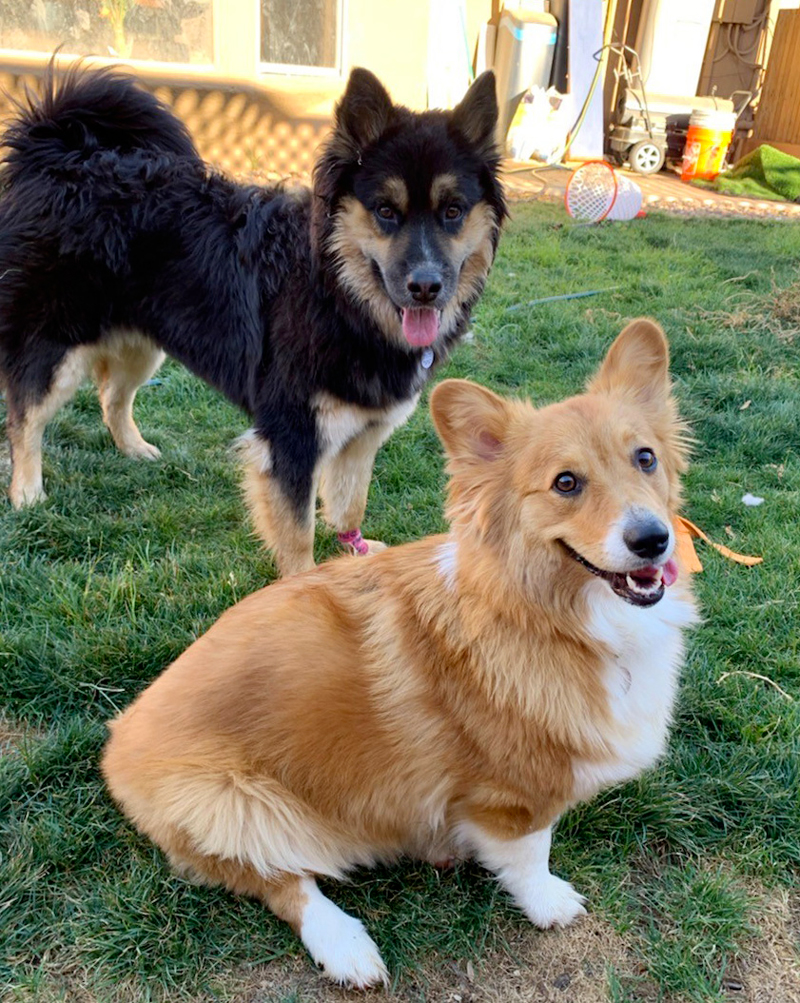 Daisy the Corgi enjoying time with playmates