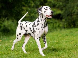 Dalmatian Puppies For Sale Animal Kingdom Arizona