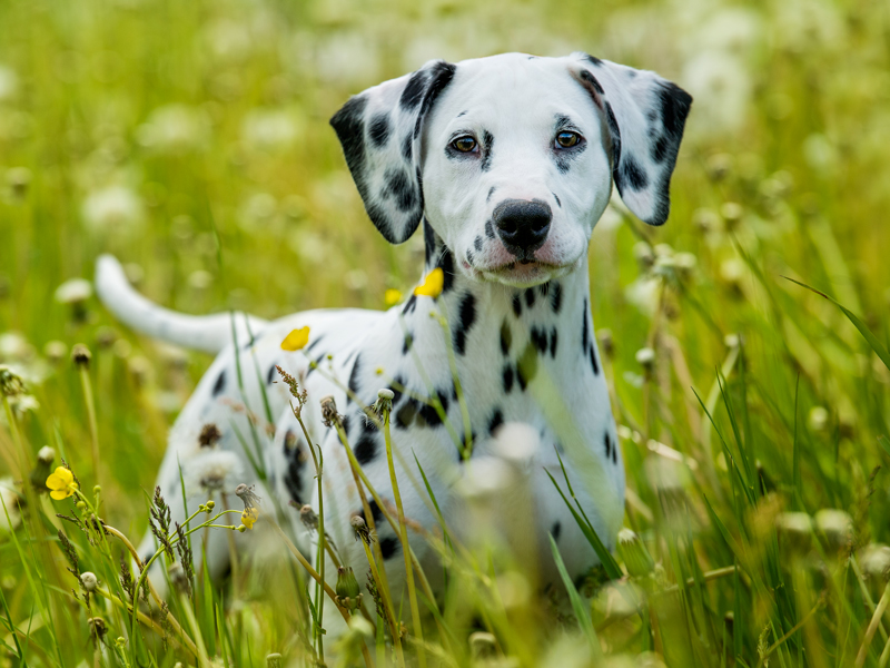 Dalmatian Puppies Animal Kingdom Arizona