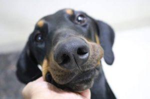 A Doberman Pinscher Dog