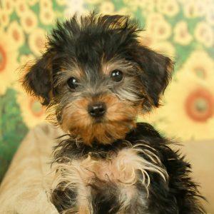 Dorkie Puppies For Sale Animal Kingdom Arizona