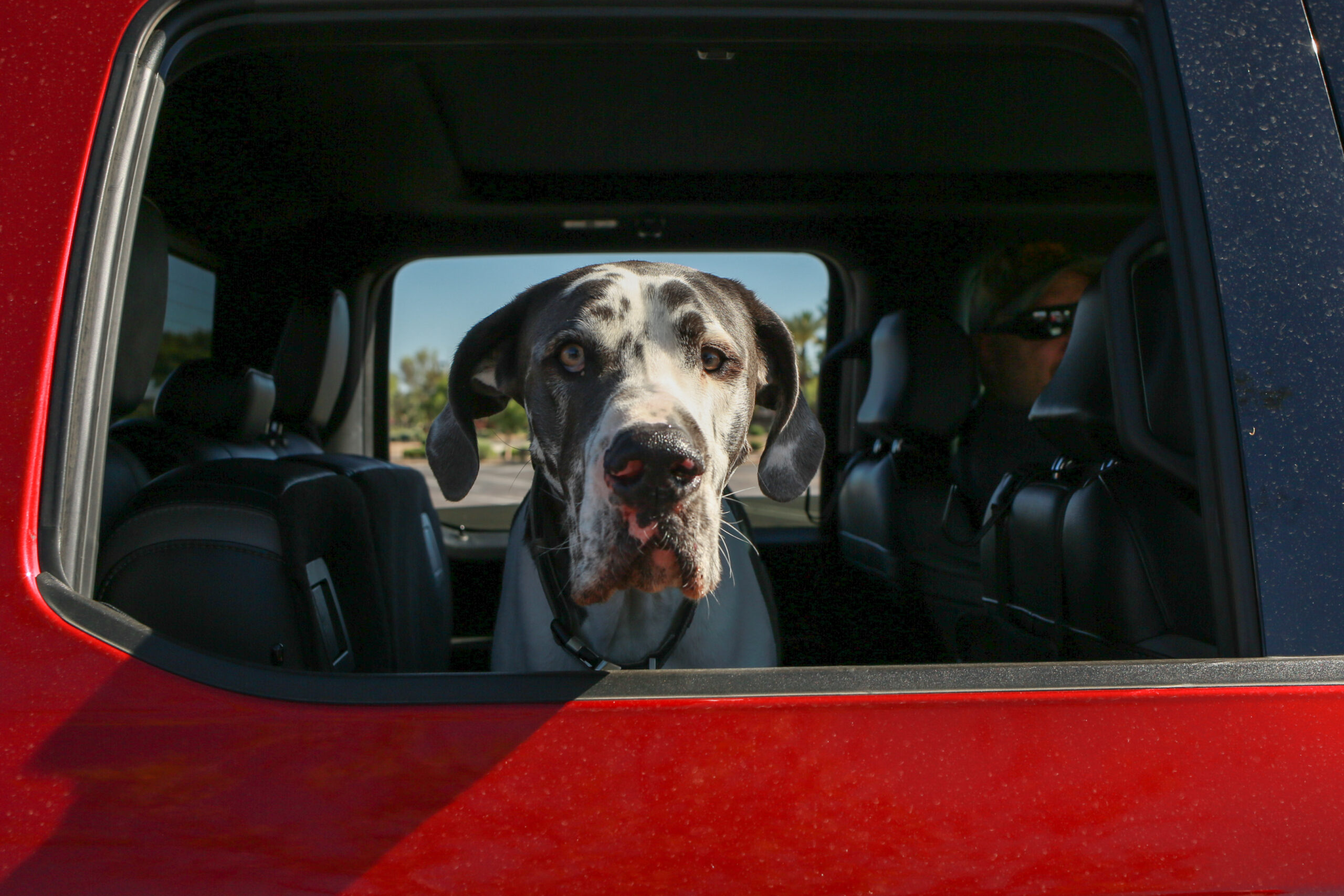 Great Dane at donation event