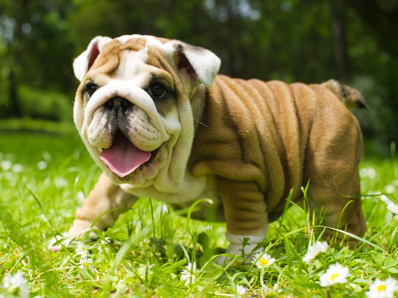 English Bulldog Puppies Animal Kingdom Arizona