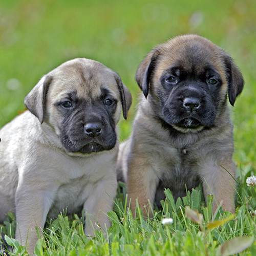 English Mastiff Puppies Animal Kingdom Arizona