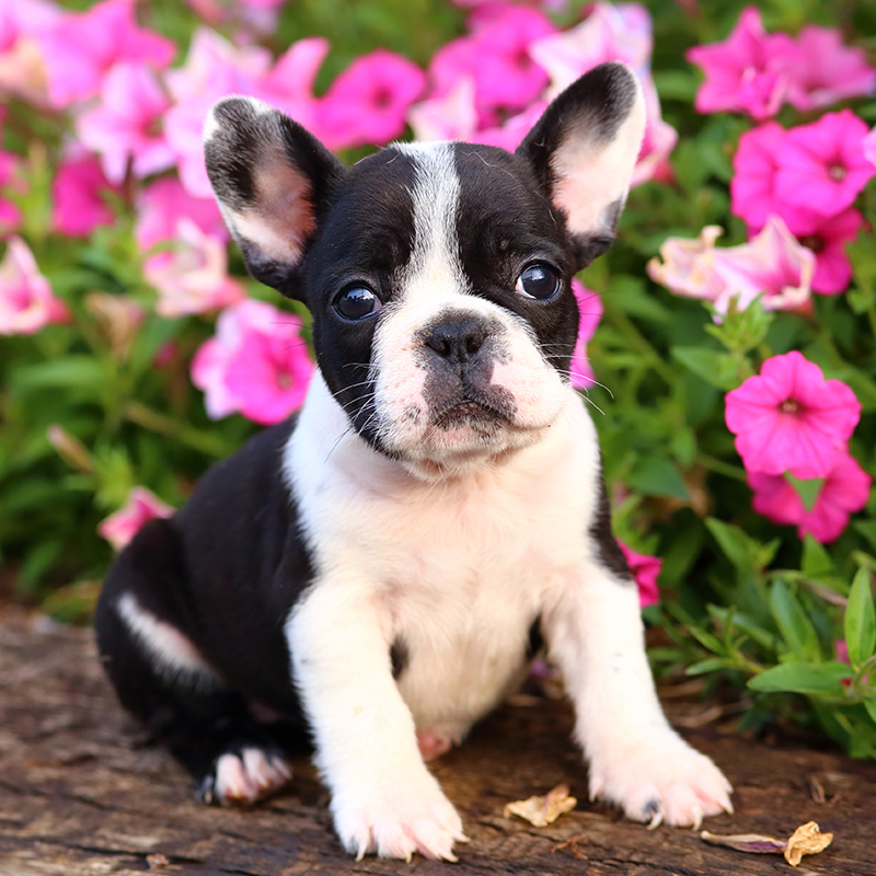 French Bulldog Puppies Animal Kingdom Arizona
