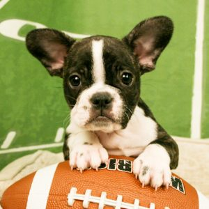 French Bulldog puppy sitting on a football