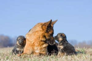 German Shepherd dog and two of her puppies