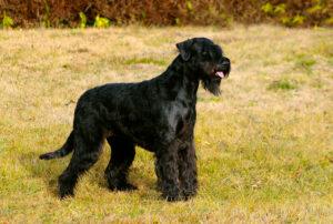 Giant Schnauzer Puppies For Sale Animal Kingdom Arizona