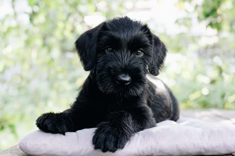 Giant Schnauzer Puppies Animal Kingdom Arizona