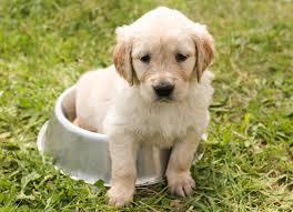 Cute little Golden Retriever puppy in a food bowl