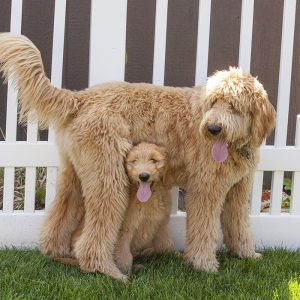 Goldendoodle Puppies For Sale Animal Kingdom Arizona