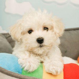 Havachon Puppies For Sale Animal Kingdom Arizona