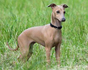 Italian Greyhound dog standing in grass
