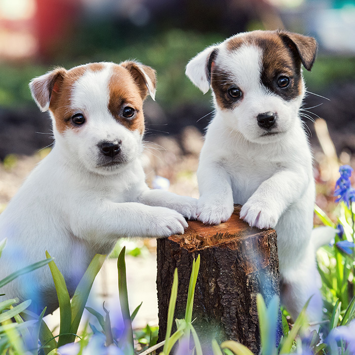 Jack Russel Terrier Puppies Animal Kingdom Arizona