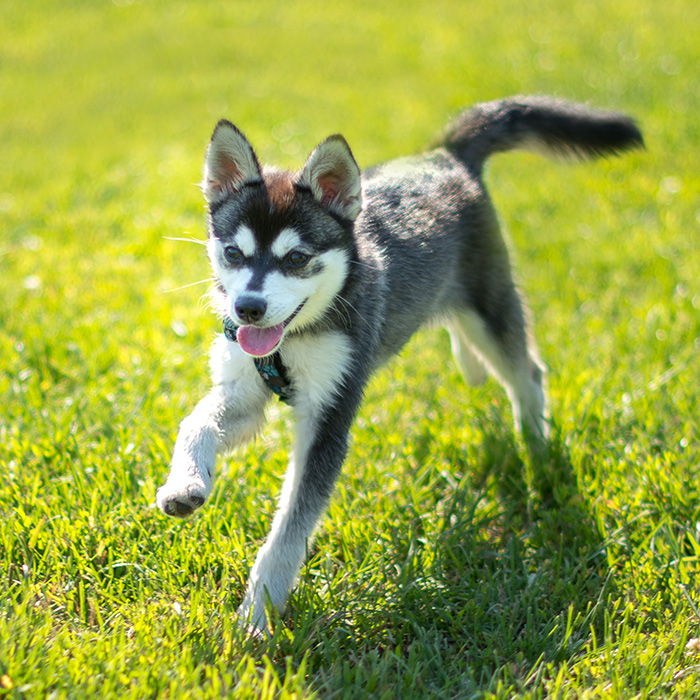 Klee Kai Puppies For Available