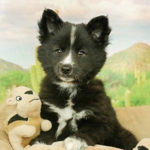 Kleekimo Puppies For Sale Animal Kingdom Arizona