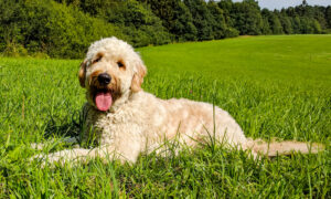 Mini Labradoodle Puppies For Sale Animal Kingdom Arizona
