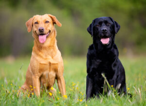 Labrador Retriever Puppies For Sale Animal Kingdom Arizona
