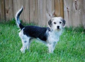 Malteagle Puppies For Sale Animal Kingdom Arizona
