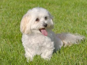 Malti-Poo Puppies For Sale Animal Kingdom Arizona