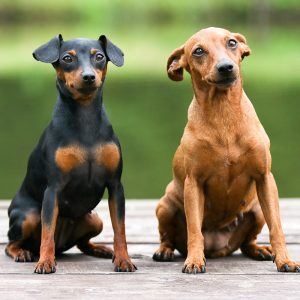 Miniature Pinscher Puppies For Sale Animal Kingdom Arizona